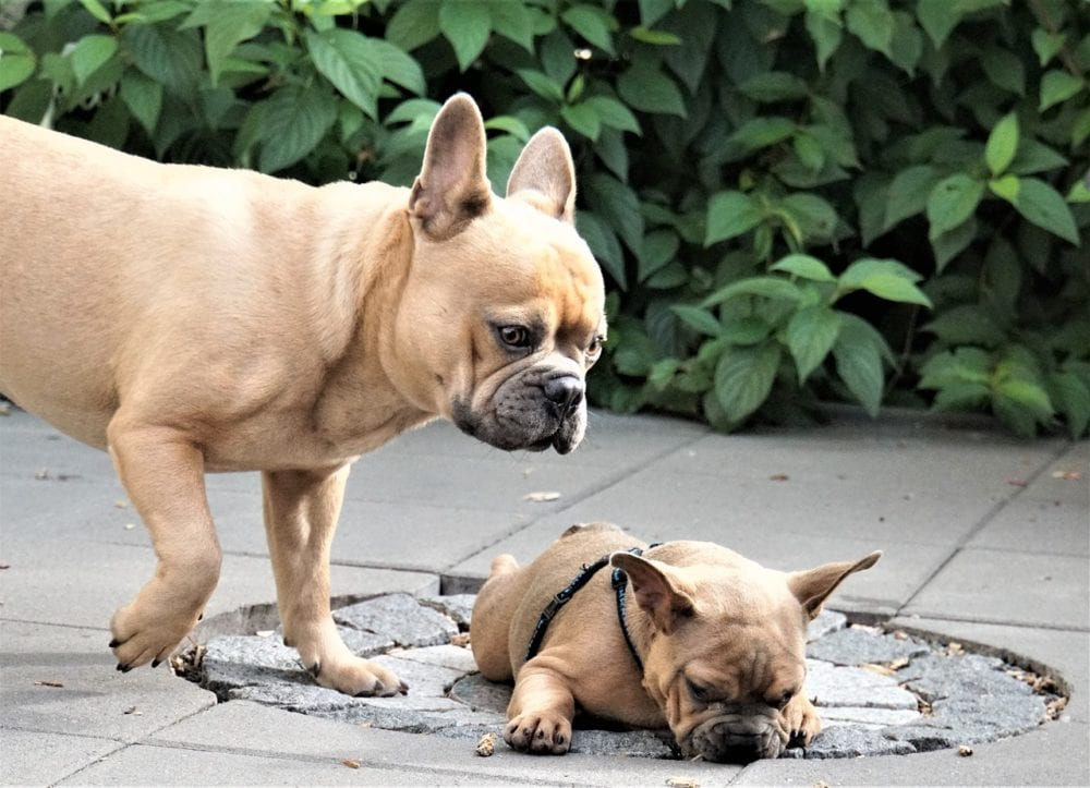 buying a healthy french bulldog puppy for sale