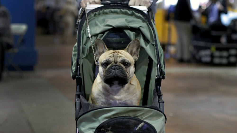 Flying With A French Bulldog | Huskerland Bulldgs | Puppies For Sale