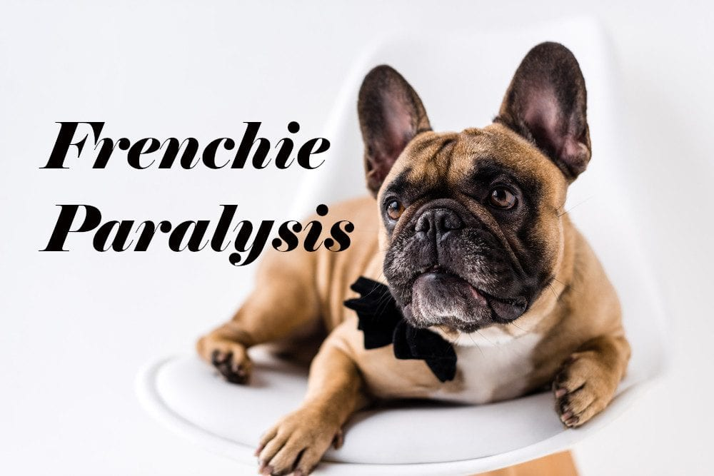 French Bulldog Paralysis Signs | Huskerland Bulldogs | Puppies For Sale