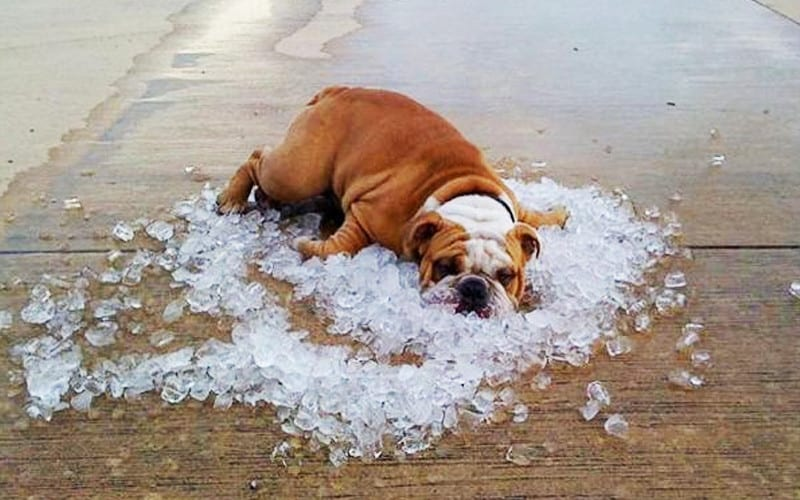 items to Keep your Bulldog Cool This Summer
